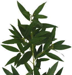 Bay Leaf Foliage 12 86 Wholesale Wedding And Event Flowers